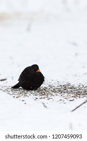 Winter with a Blackbird who sits in the snow