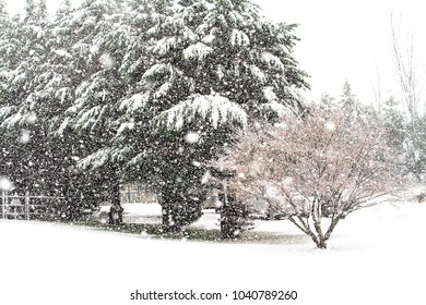 Winter blizzard lays heavy snow on trees in yard