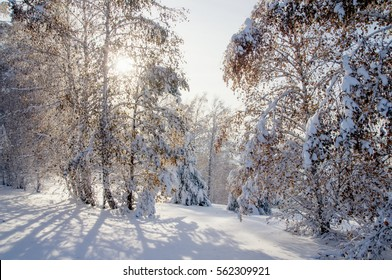 Winter bright air white frozen birch trees forest taiga in snow at sunset Altai Mountains, Siberia Russia