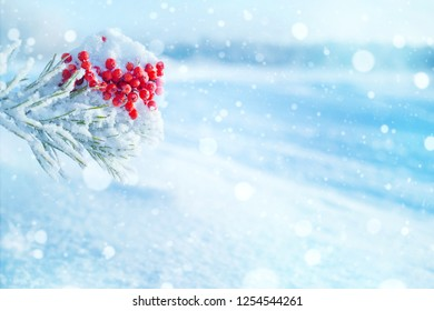 Winter bright background. Clusters of bright frozen rowan on pine branches.