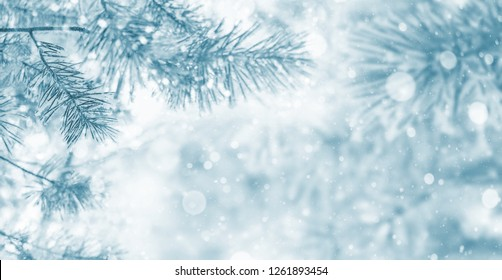 Winter bright background with snowy pine branches. Frozen Pine Tree Branches.
