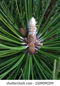 Winter buds of a longleaf pine tree with male and female flowers