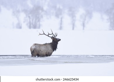 Winter bull elk standing in frozen lamar river, Yellowstone National Park