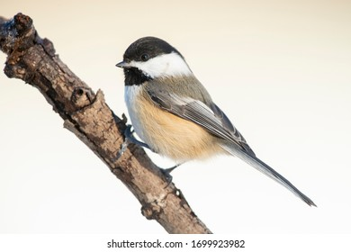 Winter chickadee perched on a branch.