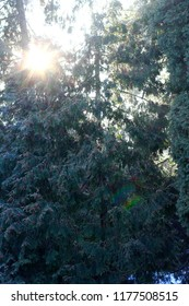 Winter Christmas tree in forest with sun rays