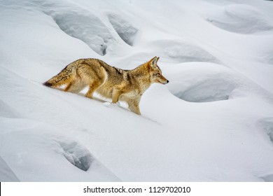 Winter coated coyote crawls through deep Yellowstone snow