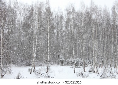 Winter cold landscape with birches forest and falling snow. Beautiful winter background.