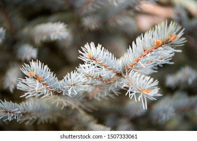 Winter is coming. Branches of pine spruce close up. Coniferous evergreen spruce tree. Symbolizing immortality and eternal life. Spruce or conifer plant. Spruce fir or needles on natural background.
