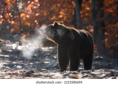 Winter Is Coming: Sunny Cold Autumn Morning In Mountains And Big Brown Bear Standing Sideways And Steam Coming Out Of Its Jaws. Brown Bear ( Ursus Arctos ) At Background Of Autumn Forest. Beast Breath