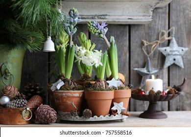 Winter composition with hyacinth in aged clay pot on round tray, candlestick, metal stars on dark wooden background, fresh branch of pine, cones, Christmas scene