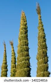 Winter cypress