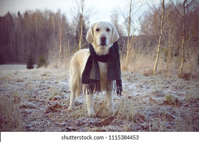 Winter day: the Golden Retriever standing with the dark green scarf in the meadow at countryside with woods in the background.