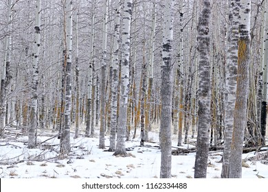 Winter day with snow and Aspen trees
