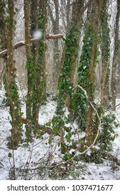 Winter deciduous forest on shore of the Black sea. European hornbeam (Carpinus betulus), hornbeam-wood, Trees covered with epiphytes, lianas (ivy, vine), and sleet (snowfall). Abkhazia.