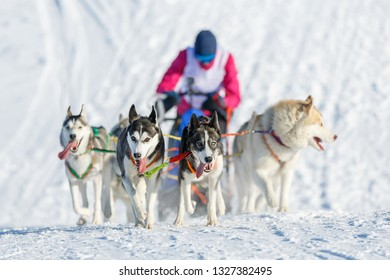 Winter dog sled race