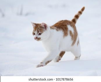 Winter domestic cat
