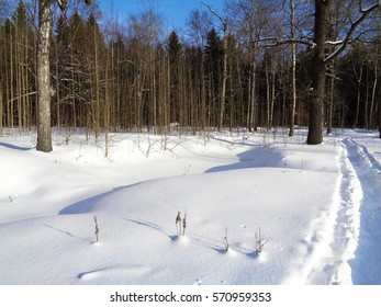 Winter in Europe. Tree branches under the snow. Birch and pine woods under the cloudy sky in February