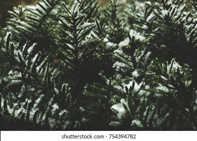 Winter Evergreen Branches Covered in Snow