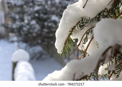 Winter Evergreen Tree