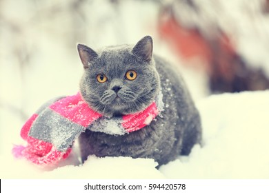 Winter fashion portrait of Blue British shorthair cat wearing pink gray knitting scarf. Cat walking outdoor in snow