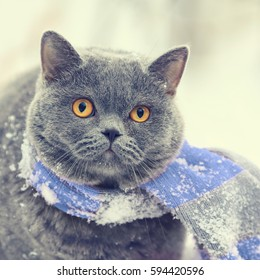 Winter Fashion Portrait Of Blue British Shorthair Cat Wearing Pink Gray Knitting Scarf Walking