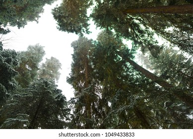winter fir forest in snow view from below