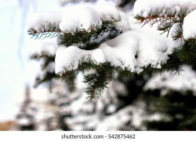 winter fir tree snow sunlight