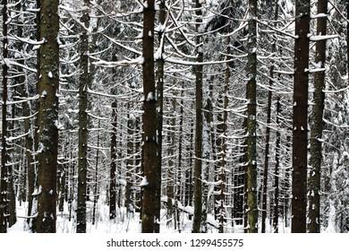 Winter Fir trees forest