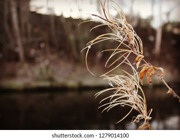 Winter Fireweed by the Canal