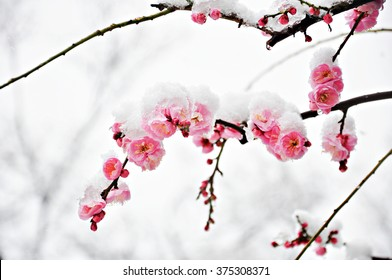Winter flower, Pink Plum Flower under Snow with white background