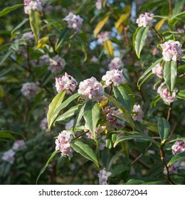 Winter Flowering Daphne bholua 'Jacqueline Postill' in a Country Cottage Garden in Rural Devon, England, UK