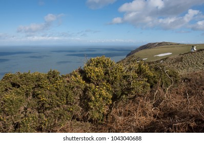 Winter Flowering Gorse (Ulex europaeus) on the South West Coast Path at Trentishoe Down by the Bristol Channel within Exmoor National Park in Rural Devon, England, UK