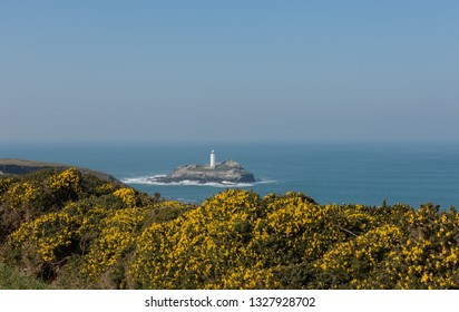 Winter Flowering Gorse (Ulex europaeus) on Navax Point with Godrevy Lighthouse in the Background on the South West Coast Path between Portreath and Hayle in Rural Cornwall, England, UK