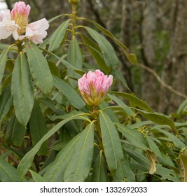 Winter Flowering Rhododendron 'Nobleanum Album' in a Country Cottage Garden in Rural Devon, England, UK