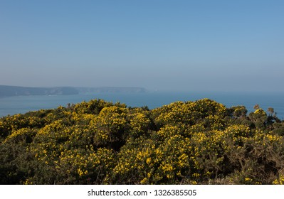 Winter Flowering Wild Common Gorse (Ulex europaeus) on a Cliff Top Moor on the South West Coast Path between Portreath and Hayle on the Atlantic Coast in Rural Cornwall, England, UK