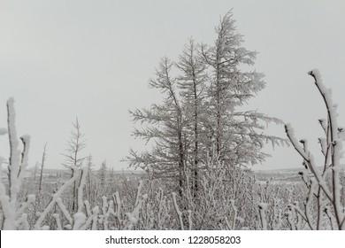 Winter fluffy snow-covered trees, Norilsk, November 04, 2018