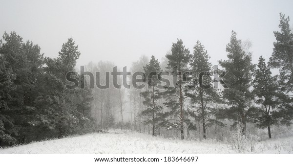 winter-foggy-landscape-forest-pines-600w