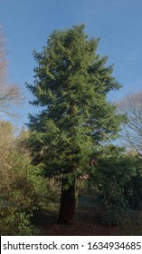 Winter Foliage of an Evergreen Californian or Coastal Redwood Tree (Sequoia sempervirens) Growing in a Park in Rural Devon, England, UK