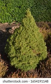Winter Foliage of an Evergreen Cone Shaped Alberta Spruce Tree (Picea glauca var. albertiana 'Conica') in a Rockery Garden in Rural Devon, England, UK