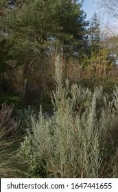 Winter Foliage of the Evergreen Ozothamnus rosmarinifolius 'Silver Jubilee' Growing in a Woodland Garden in Rural Devon, England, UK