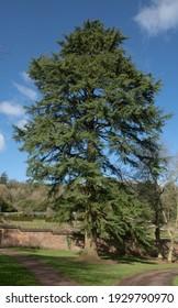 Winter Foliage of an Old Evergreen Deodar Cedar Tree (Cedrus deodara) with a Bright Blue Sky Background Growing in a Park in Rural Devon, England, UK