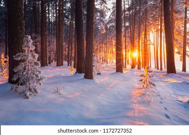 Winter forest. Christmas sunrise in snowy forest. Christmas holiday background. Winter landscape with rising sun.
