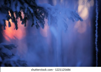Winter forest at dusk. Last glimpse of setting sun behind snow covered spruce (Picea abies) branches. Selective focus and shallow depth of field.