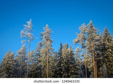 winter forest edge under blue sky