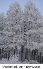 Winter forest in frost.