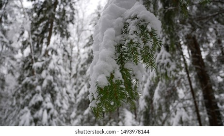 Winter forest is full of snow.