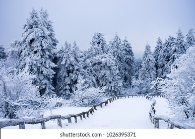 Winter forest landscape in early winter morning- deciduous frosty tree under winter snowfall. Nature view with snowy winter forest.