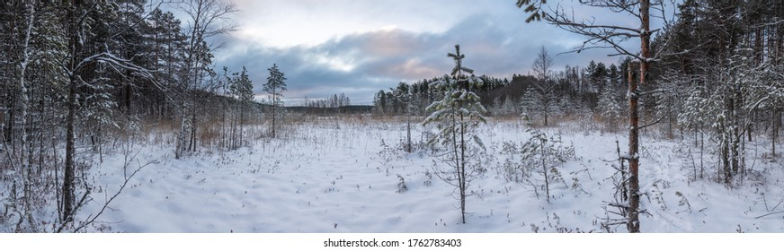 In the winter forest. Winter landscape. Panorama.