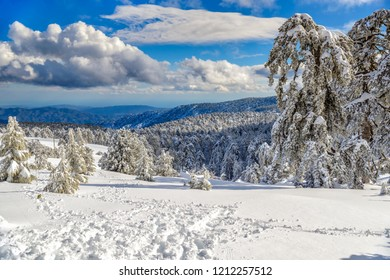 Winter forest landscape in Troodos, Cyprus.