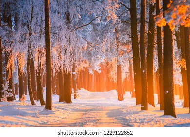 Winter forest. Winter nature background. Beautiful pine forest with frost covered trees lit by yellow sunlight in christmas evening. Beautiful woods scenery. Christmas or New Year background.